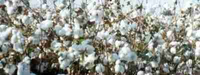 Cotton-তুলা