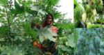 কালের গর্ভে হারিয়ে যাচ্ছে উপকারী ভেন্না গাছ