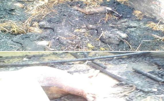 দৌলতপুরের সোনাইকুন্ডিতে অগ্নিকাণ্ডে দিনমজুরের ঘর সহ গবাদি পশু পুড়ে গেছে
