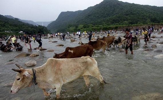 বাংলাদেশে প্রবেশ করছে ভারতীয় 'জীবাণুবাহী' গরু